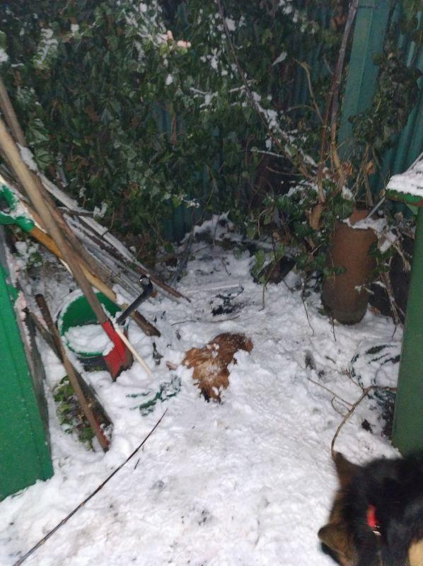 Znaleziona martwa kura z urwaną głową