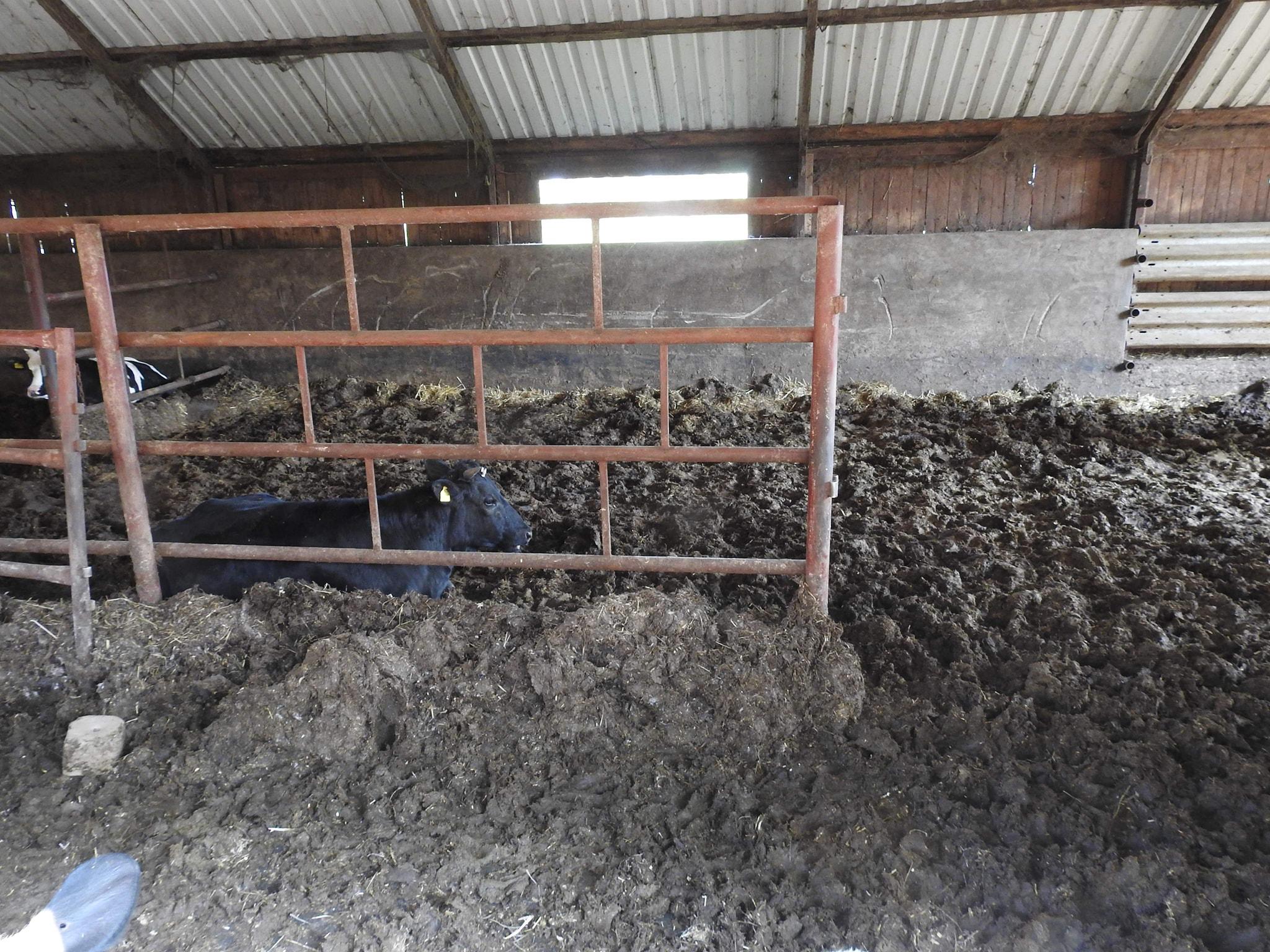 Zaniedbane krowy w fatalnych warunkach